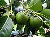 3 Seeds of Diospyros Digyna - Black Sapote