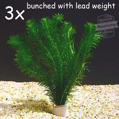 3X Anacharis Bunch Elodea Densa Aquatic Freshwater Aquarium Plants