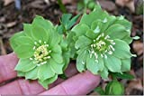 50+ WINTER BLOOMING GREEN HELLEBORUS SEEDS
