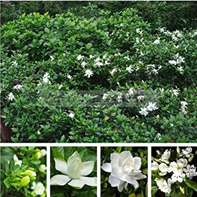 AGROBITS 2PCS / Bag, Gardenia Bonsai, Cape Jasmine Real Bonsai, Potted, Flower Bonsai, The Budding Rate 95%,: Garden & Outdoor