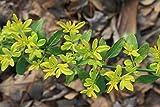1 Starter Plant of Jasminum Mesnyi 'Sunglo' - Chinese Jasmine
