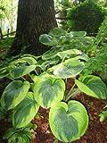 "HOSTA Shade ""Frances Williams"" Shade-Loving 15+ Perennial Seeds"
