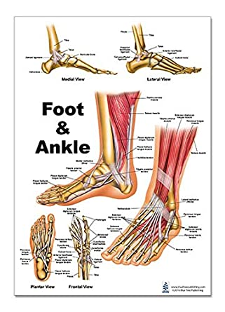 foot and ankle anatomical poster, size 12wx17t: amazon.com: industrial &  scientific  amazon.com