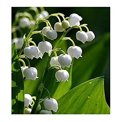 10 Very Large, Plump Lily of The Valley Plant Pips with Roots - Fresh from Holland Will Bloom in May : Garden & Outdoor