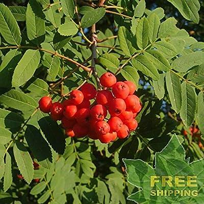 Showy Mountain ASH Sorbus Decora - 10 Seeds : Garden & Outdoor