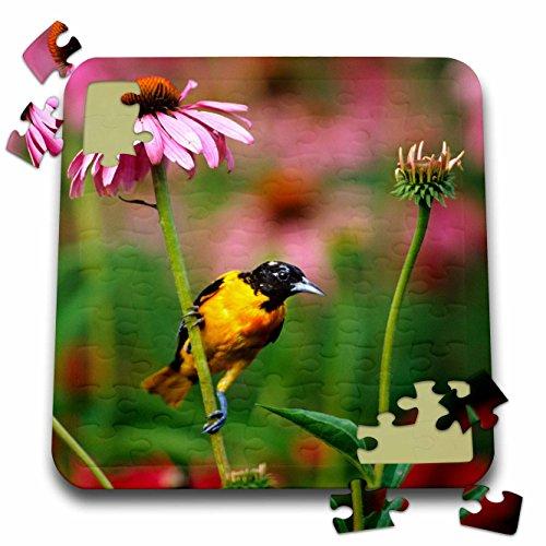 Baltimore Orioles Bird (Danita Delimont - Oriole - Baltimore Oriole male on Purple Coneflower in flower garden, Illinois - 10x10 Inch Puzzle (pzl_250920_2))