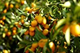 Dwarf Nagami Kumquat Citrus fruit Tree