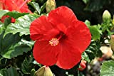 Costa Farms - Live Hibiscus Tropical Outdoor Plant in 3.00 qt Grower Pot, Red Flowers