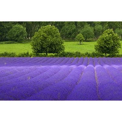 5, 000 TRUE ENGLISH LAVENDER VERA Lavender Augustifolia Vera Herb Flower Seeds : Garden & Outdoor