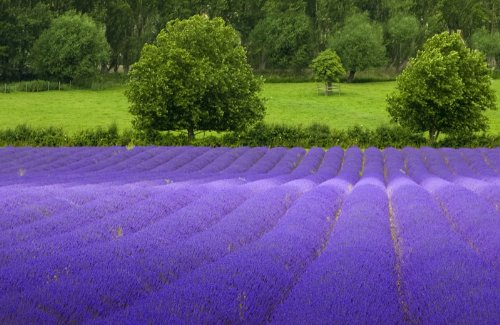 (Lavender Common English Nice Garden Flower By Seed Kingdom BULK 5,000 Seeds)