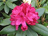 Rhododendron Nova Zembla #3 Size Container Plant - Light Red Blooms