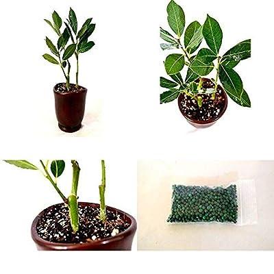 Cutdek Sweet Bay Herb Bonsai Fertilizer Plant Tree Ceramic Vase Plant Best Gift Indoor: Garden & Outdoor