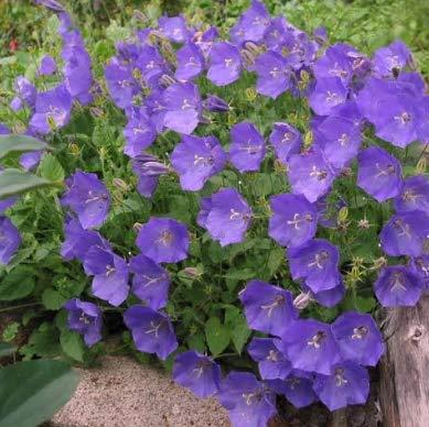 Seeds Campanula Carpatica Clips Blue Get 500 Fresh Seeds Easy Grow AB008