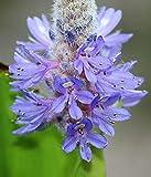 Pickeral Rush Pontederia Cordata Organic 10 Seeds GBP 001