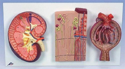 3B社 腎臓模型 腎臓/ネフロンと血管/腎小体セット (k11)   B003Z2M9EK