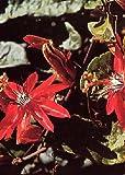 TROPICA - Passiflora rossa (Passiflora coccinea) - 10 Semi- Piante rampicanti