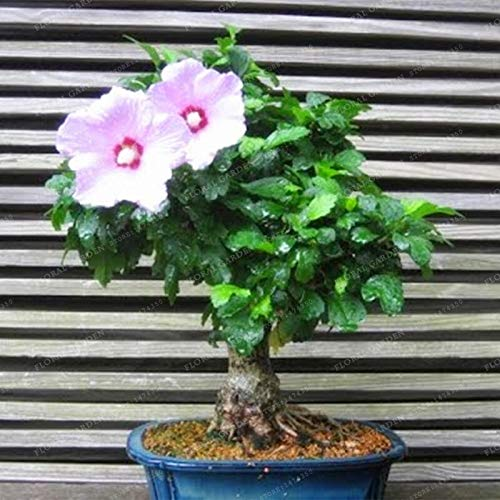 200 Hibiscus Flower Seeds Bonsai Mini Hibiscus Bonsai Flower Bonsai Outdoor Plant Bonsai For Home Garden Easy To Grow Seeds 11 Buy Online In Bahamas At Desertcart Productid 174172751
