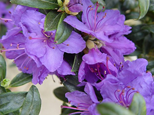 Rhododendron X 'Blue Baron' (Rhododendron) Evergreen, bluish purple flowers, #3 - Size Container by Green Promise Farms (Image #1)