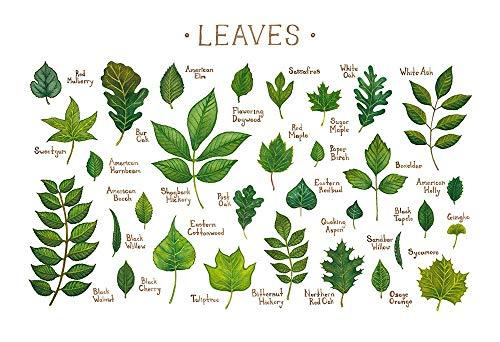 (Leaves of North American Trees Field Guide Art Print)