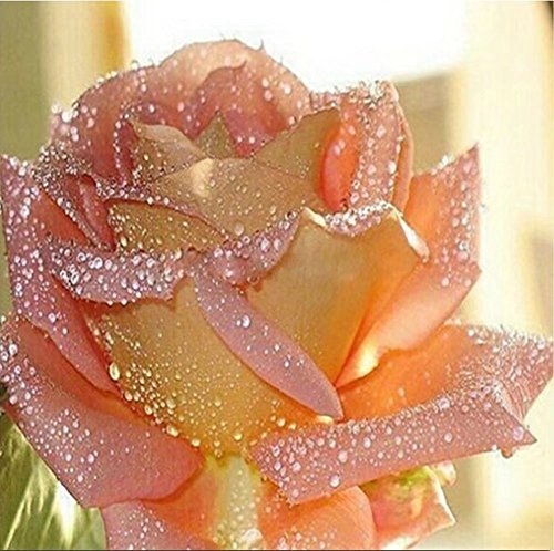 Diamond Painting, DIY 5D Diamond Painting Kits for adults Kids Crystal Rhinestone Diamond Embroidery Cross Stitch Diamond Art Craft for Home Wall Decor Pink Rose 12X12 inches ()