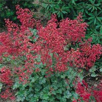 (Outsidepride Heuchera Firefly Plant Seed - 10000 Seeds)