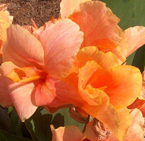 Tropical Sunrise Dwarf Canna Lily Bulbs/Root/Plant/Rhizome/Start