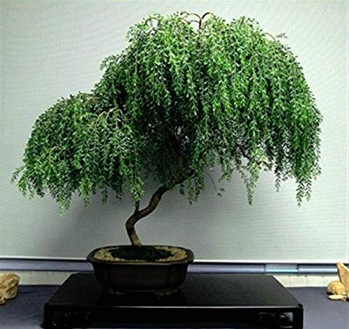 Hot Sale! Bonsai Tree Dwarf Weeping Willow Live Plant Best Gift Houseplant Indoor