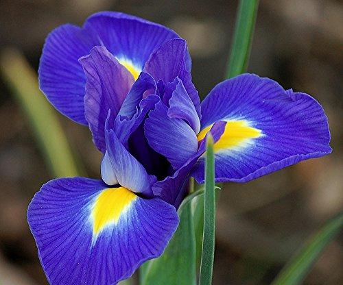 (3) Blue Magic Dutch Iris Bulbs (Grow Dutch Iris)