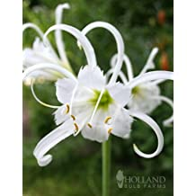 Peruvian Daffodil or Spider Flower