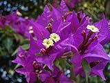 New 1 PCS Bougainvillea Royal Purple Bougainvillea Glabra Starter plant