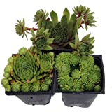 "Hens & Chicks Collection 3 Live Plants -Sempervivum - Indoors or Out - 3"" Pots"