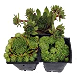 Hens & Chicks Collection 3 Live Plants -Sempervivum - Indoors or Out - 3'' Pots