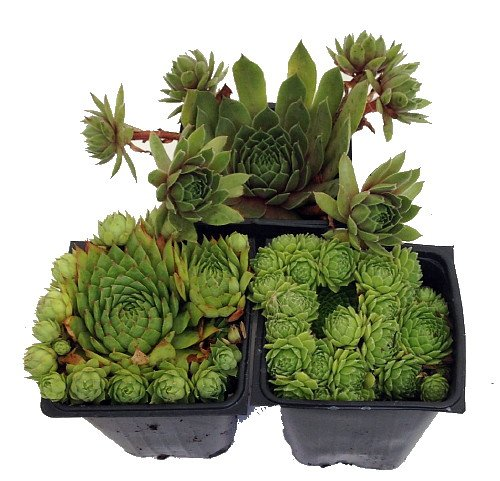 Hens & Chicks Collection 3 Live Plants -Sempervivum - Indoors or Out - 3'' Pots by Hirt's Gardens