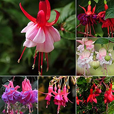 junshi11 10Pcs Chinese Enkianthus Seeds Abutilon Striatum Ornamental Flower Easily Grow, Annual Temperate Planting, Indoor Outdoor Decoration Garden Gifts Purple Chinese Enkianthus Seeds : Garden & Outdoor
