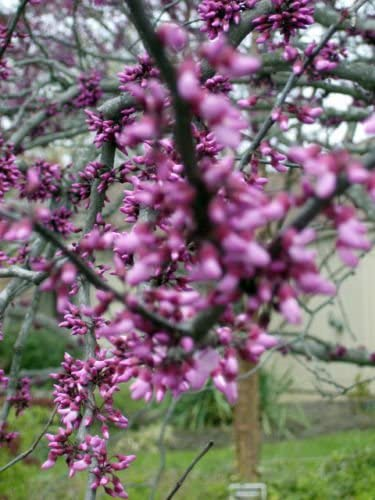 Amazon Com 20 Eastern Redbud Forest Pansy Tree Seeds