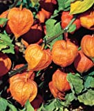 Chinese Lantern Physalis Alkekengi, Sow in Spring Or Fall, 30 Seeds