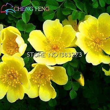 Inicio de las rosáceas Rosa xanthina Semillas Semillas 100 piezas Planta Ornamental Manchú Rose paisaje de