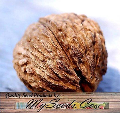 black-walnut-tree-seeds-juglans-nigra-northern-hardy-to-zone-5-by-myseedsco-5-seeds