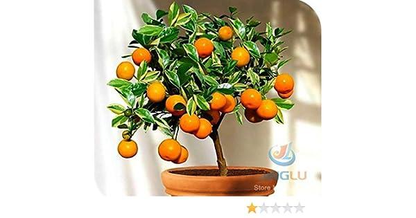 Calamondin Seeds Fruit Seeds Tangy Fruit Fabulous Bonsai Orange Seeds Showy Houseplant 50 Seeds Miniature Citrus Fruit