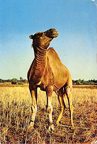 Misc Animals Camel Tunisie, Dromadaire Postal Used Unknown, Missing Stamp