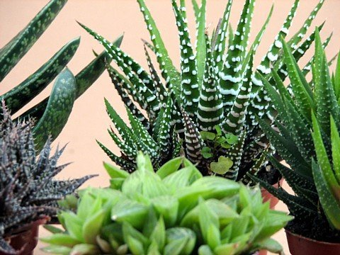Haworthia Collection 5 Plants - Easy to Grow/hard to Kill - 3'' Pot From Jmbamboo