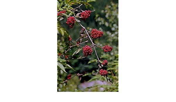 Asklepios-seeds/® sa/úco rojo 500 Semillas Sambucus racemosus Sambucus racemosa