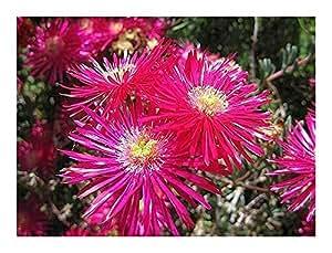 Lampranthus maximiliana - succulent - 15 seeds