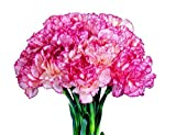 Mr.seeds A Pack 200 Pcs Pink&Purple Stripe Carnation Seeds Balcony Potted Courtyard Garden Plants Seeds Dianthus Caryophyllus Flower Seed