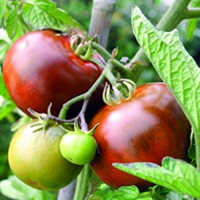 Black From Tula Tomato 30 Seeds - Russian Heirloom : Vegetable Plants : Garden & Outdoor