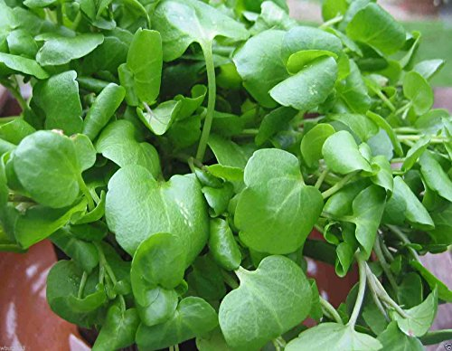 1000 Watercress Seed, Use as Salad Greens,Culinary Herb,And Medicinal Herb.