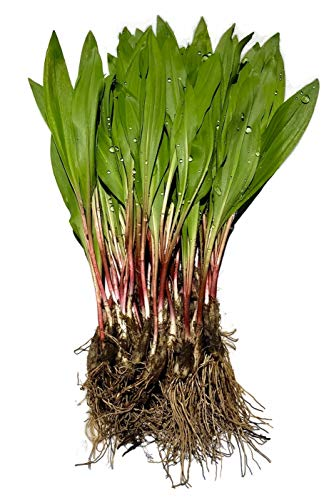 40 FRESH Wild Ramps / Leeks for cooking or replanting by The Wild Leek (Image #1)