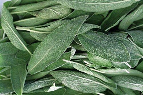 Broadleaf Sage ,(200 Herb Seed ) Common Sage, Perennial, Our Seeds Are GMO (Broadleaf Sage)