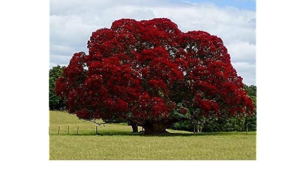 Amazon Com New New Zealand Christmas Tree Red Flowering