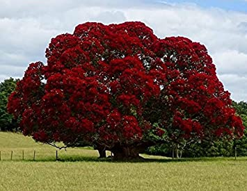 Amazon Com New New Zealand Christmas Tree Red Flowering